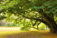 Centenary linden tree Royalty Free Stock Photo