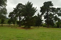Centenary Pines In A Park Of Asturias. royalty free stock photography