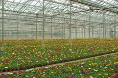 Centenas de crescimento de flores no berçário Imagem de Stock