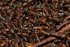 Centenas de formigas fotografia de stock