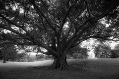 Centennial drzewo na Centennial parku Zdjęcia Stock