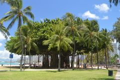Centennial drzewo Na Waikiki plaży obrazy stock