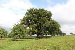 Centennial oak Stock Image