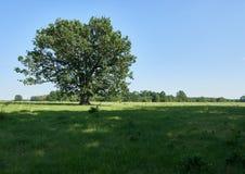 Centennial oak tree Stock Images