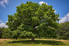 Centennial oak tree Royalty Free Stock Photography