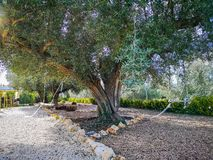 Centennial olive tree in garden royalty free stock photography