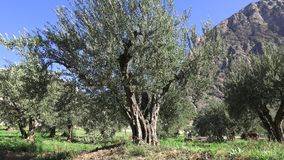 Centennial Olive Trees Stock Image