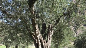 Centennial Olive Trees Stock Images