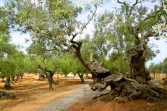 Centennial olive trees from Mediterranean Mallorca. Island in Spain Royalty Free Stock Photography