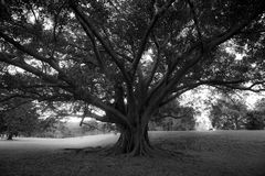 Centennial tree on Centennial park. Huge tree in Centennial park, in Sydney. The photo is black and white, taken in 2017 Stock Photos