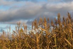 Centeno bronceado contra el cielo en el d3ia imagen de archivo