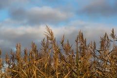 Centeno bronceado contra el cielo en el d3ia imagenes de archivo