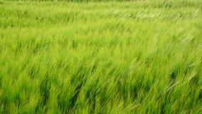 Centeno verde joven durante una ráfaga del viento metrajes