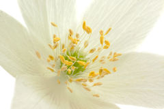 Center of Anemone flower 1 Stock Images