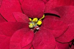 Center of a Poinsettia plant. royalty free stock photos
