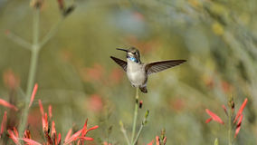 The Center Of Attention. A pretty shot of a hummingbird as it is hovering in the air Royalty Free Stock Image