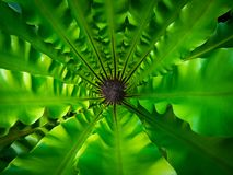 Center of The Bird's Nest Fern royalty free stock photo