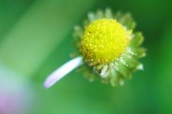center blomma Arkivbilder