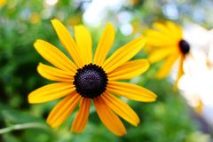 Center of a brown eyed Susan. A picture of the center of a brown eyed Susan in summer royalty free stock image