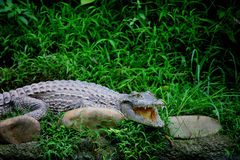 center chongqing för alligator krokodil Royaltyfria Foton