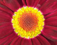 Center of Dark Red Gerbera Flower Royalty Free Stock Image