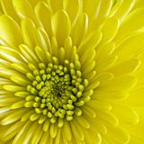 Center disk flower square. Rounded circular flower of yellow gerber daisy asteraceae in foreground a macro close-up of a long thin yellow petals and center Royalty Free Stock Photo