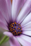 The center of a flower of aster Stock Images
