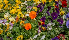 Pansy flowers. Center focus on colorful  pansy flowers Royalty Free Stock Photo