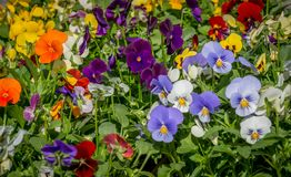 Pansy flowers. Center focus on colorful  pansy flowers Stock Image