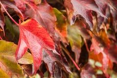 center fokusleaves planterar punktrött vin Arkivfoto