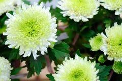 Center green chrysanthemum Stock Image
