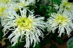 Center green chrysanthemum Stock Photography
