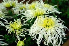 Center green chrysanthemum Stock Photo