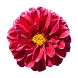 center isolerad röd yellow för dahlia blomma Arkivbilder