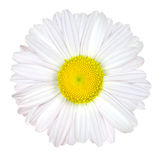 center isolerad vit yellow för tusensköna blomma Royaltyfria Bilder