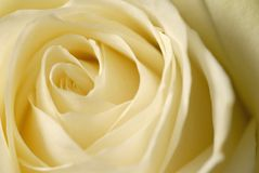 Center of love. Detail of a white rose Royalty Free Stock Image