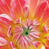 Center nepos dahlia square Royalty Free Stock Photo