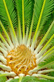Center of a palmtree Royalty Free Stock Photography