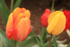 Horizontal l file of an orange and yellow tulip flower in focus with other red and yellow tulips in back. In the center of the photo is a orange and yellow Royalty Free Stock Image
