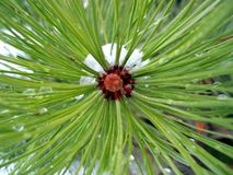 Center pine zone Stock Images