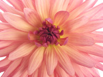 Center of pink dahlia Stock Image