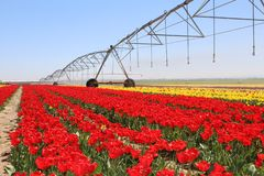 Center pivot irrigation in the tulip field stock photos