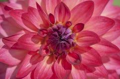 Center of red dahlia flower macro Stock Photo