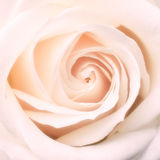 Center of rose Royalty Free Stock Image