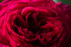 Center Of A Rose Royalty Free Stock Images