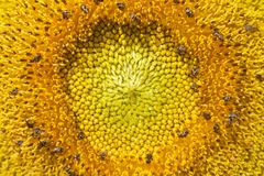 Center of sunflower selective focus Stock Photos