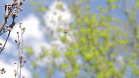 In the center of the web spider hiding and sways in the wind stock video footage