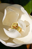 Center of White Magnolia Blossom Stock Photography