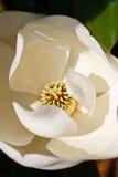 Center of White Magnolia Blossom Stock Photography
