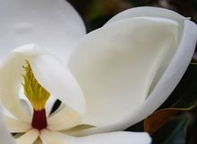 The center of a white magnolia blossom partially covered with petals. A close-up view of the cone-like center of a flowering white magnolia blossom, still Royalty Free Stock Image